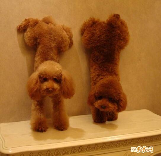 泰迪狗的图片大全2