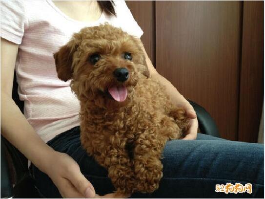 泰迪狗的图片大全7
