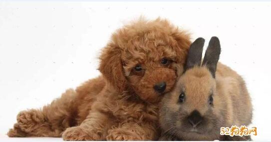 泰迪狗的图片大全8
