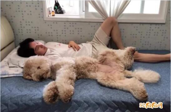 泰迪狗的图片大全9