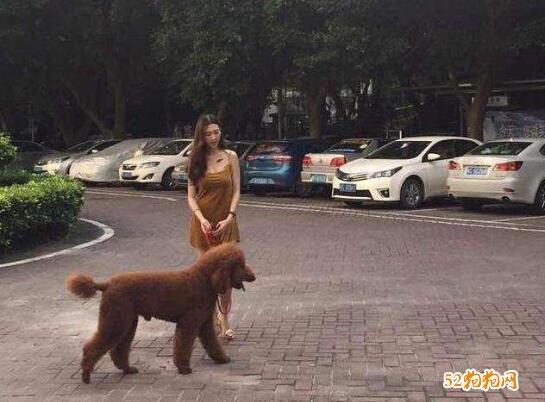 巨型泰迪犬多少钱图片