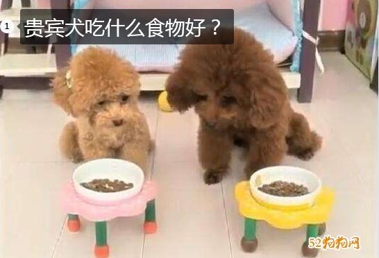 贵宾犬吃什么食物好图片