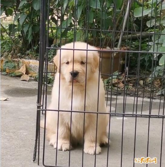 金毛犬价格和图片
