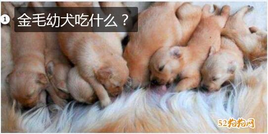 金毛幼犬吃什么图片