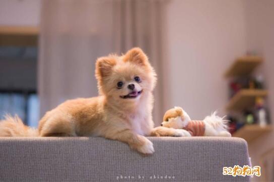 小博美犬图片4