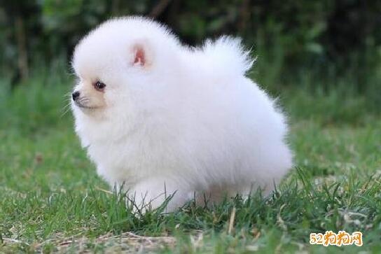 小博美犬图片5