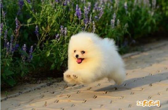 小博美犬图片