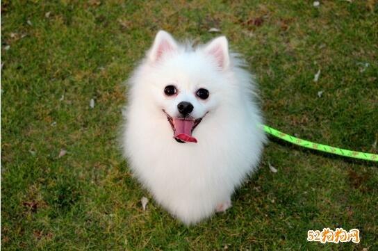 小博美犬图片2