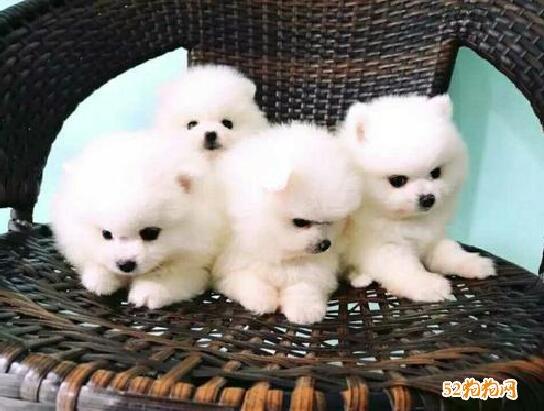 小博美犬图片3