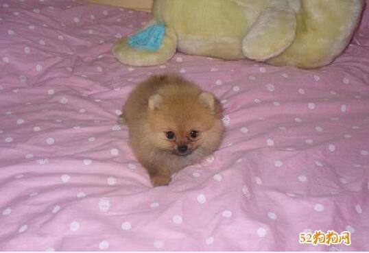 小博美犬图片7