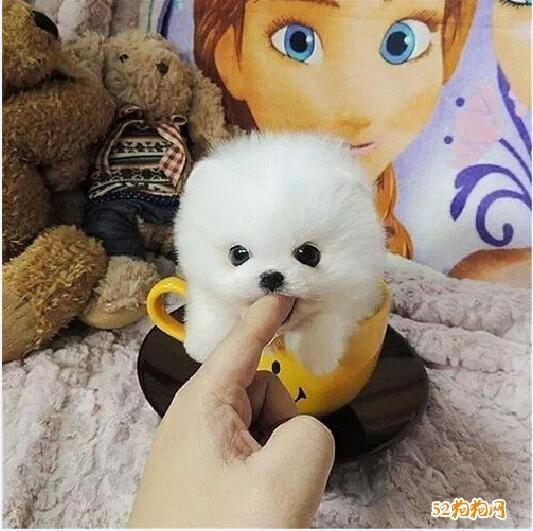 小博美犬图片8