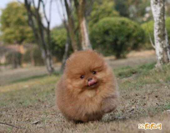 小博美犬图片11
