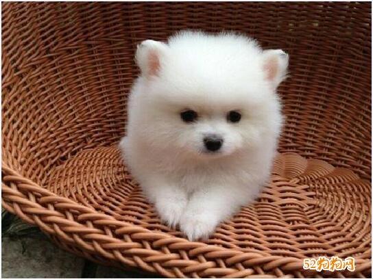 小博美犬图片12