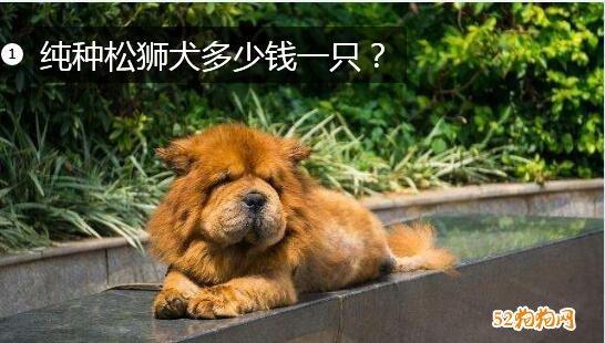 纯种松狮犬多少钱一只图片