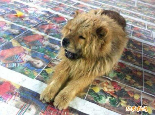 松狮和熊狮犬的区别照片