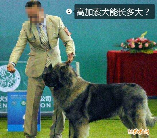 高加索犬能长多大图片