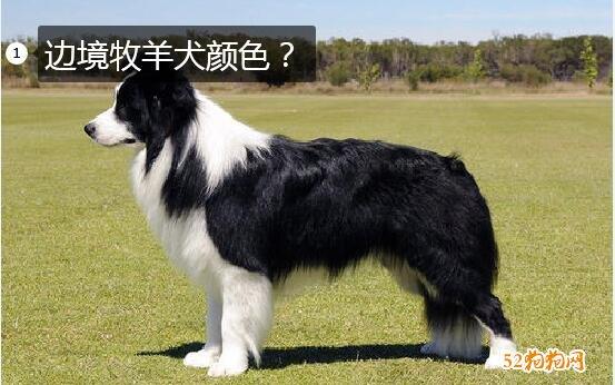 边境牧羊犬颜色图片
