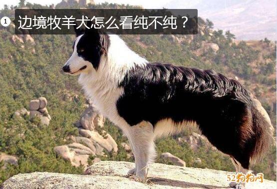纯边境牧羊犬图片