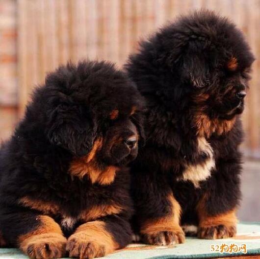 藏獒幼犬图片1