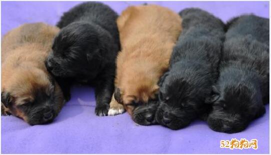 藏獒幼犬图片2