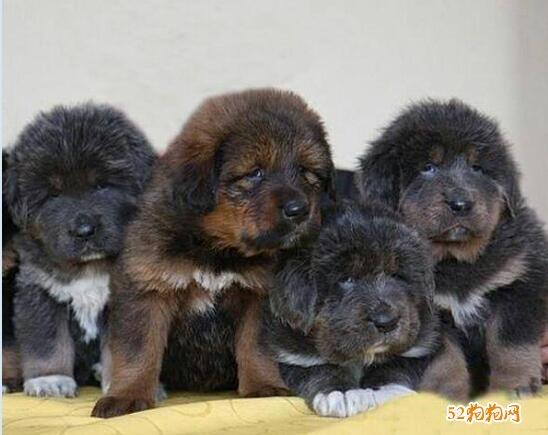 藏獒幼犬图片3