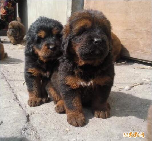藏獒幼犬图片4