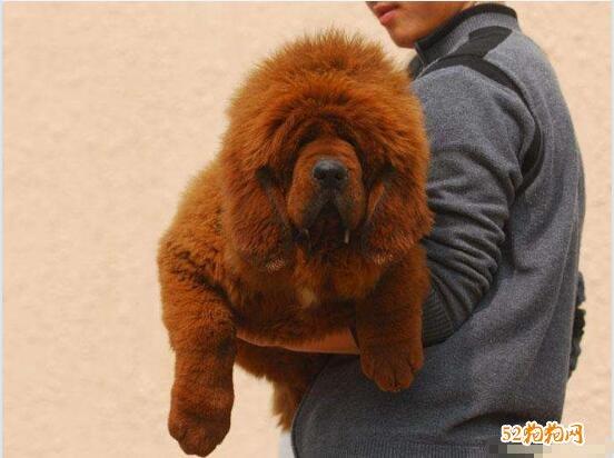 藏獒幼犬图片5