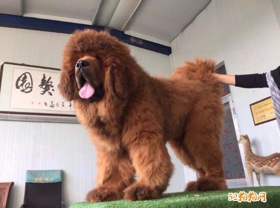 藏獒幼犬图片7
