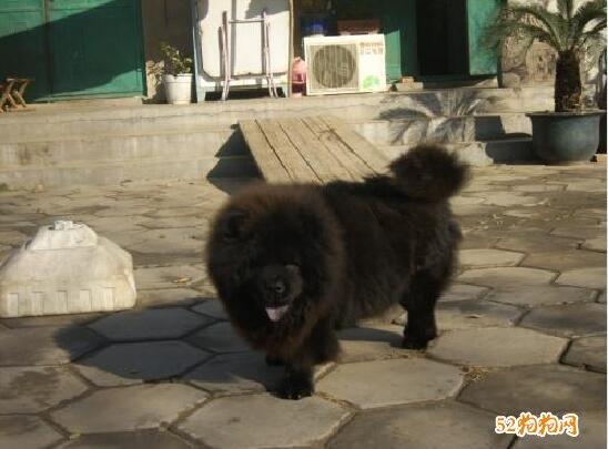 藏獒幼犬图片8