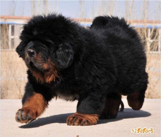 藏獒幼犬图片9