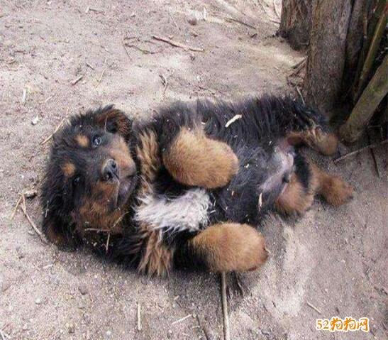 藏獒幼犬图片10