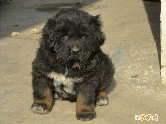 藏獒幼犬图片13