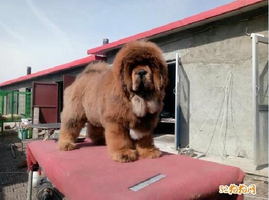 藏獒幼犬图片14