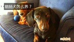 腊肠犬怎么养?