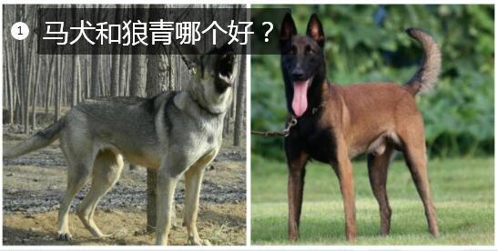 马犬和狼青哪个好