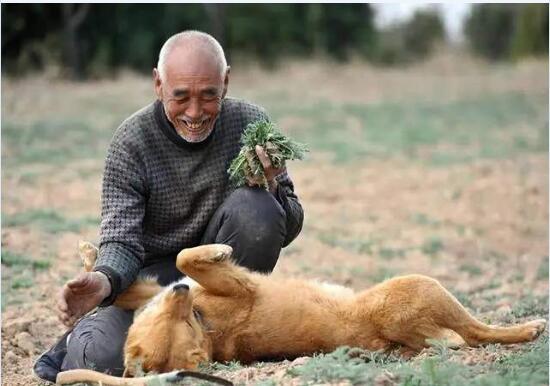 中华田园犬寿命图片