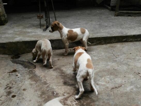 出售格力犬图片