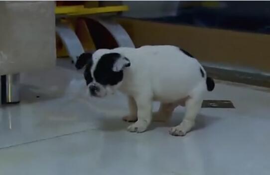 训练狗狗教程视频,大小便训练!