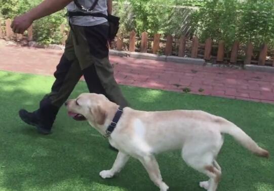 拉布拉多犬训练视频教程-初级训练