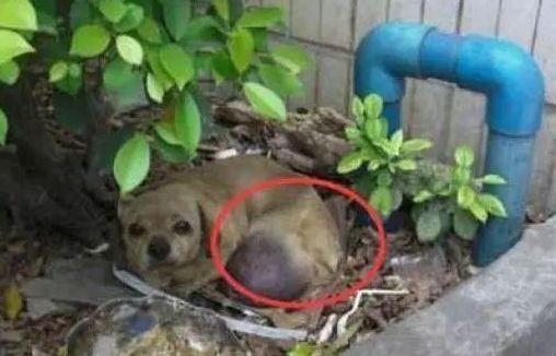 男子偶遇丢失的宠物狗!并花钱为狗狗做肿瘤切除手术!