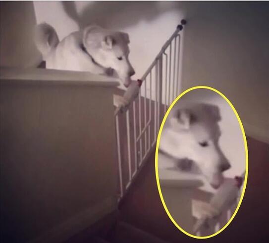 """再现""""狗精""""!宠物狗嘴爪并用打开上锁安全门!"""