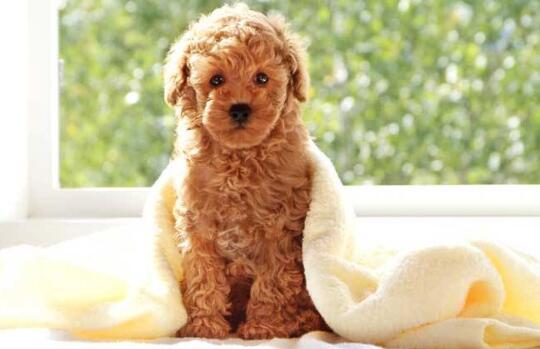 贵宾狗的价格,哪里买贵宾犬?