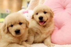 金毛狗价格、金毛小狗多少钱一只?