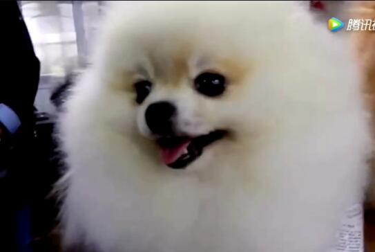 博美犬视频截图