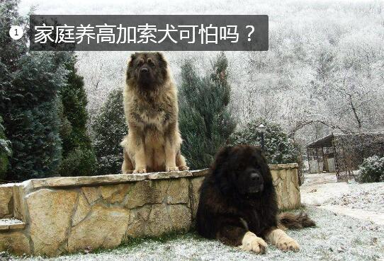 家庭养高加索犬可怕吗图片