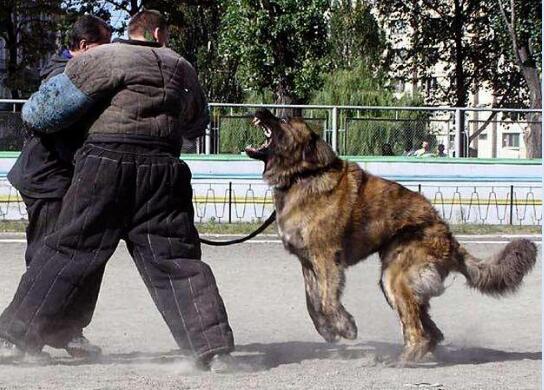 家庭养高加索犬可怕吗图片2