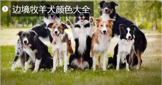 边境牧羊犬名字大全集、叫什么名字好听?