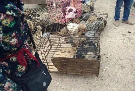 肉狗商贩生意火热,狗贩子低价收购车都快塞满了!