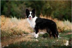 牧羊犬品种、常见的牧羊犬品种大全图文说明!