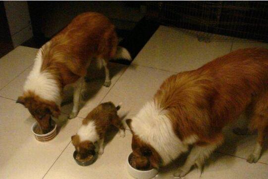苏格兰牧羊犬吃什么图